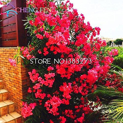 Shopmeeko Promtions 50pcs Nerium bonsaï Fleur Oleander Plantes En Pot Facile De Croissance Pot Bonsaï Japonais Balcon Jardin Décoration Bloom bon: Vert clair