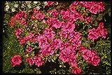 124098 Rhododendron Indicum 'Rose' (Azalea) - Póster fotográfico (A4, 10 x 8 cm)