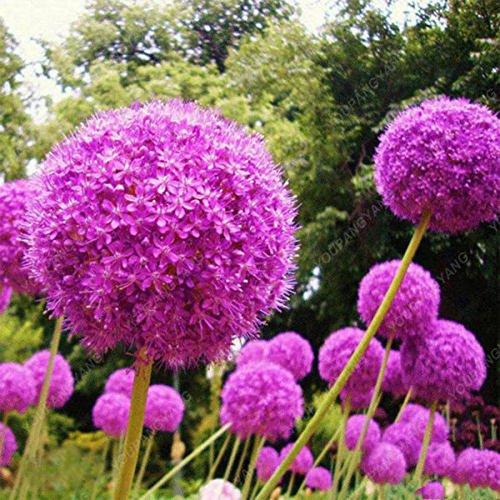 100 Violet géant Allium Giganteum Belle Graines de fleurs Jardin des plantes en herbe le taux de 95% de fleurs rares pour plantes de jardin enfant noir