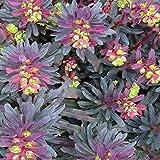 Euphorbia purpurea by SPB. Sometimes Called Wood Spurge and Occasionally Darlington's Glade Spurge. (1)