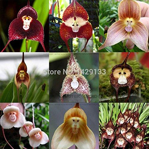 Visage de singe graines d'orchidées 200 pcs variétés multiples plantes Bonsai graines pour pots Maison et jardin fleurs jardinières Belle