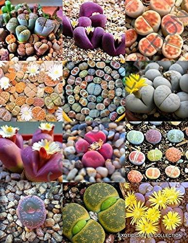 Color Max 76% OFF LITHOPS Mix Exotic Popular Living Rock Stones 30 CT Desert