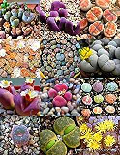 RARE LITHOPS AUCAMPIAE living stone mesemb pebble rock succulent seed 100 seeds