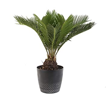 """AMERICAN PLANT EXCHANGE King Sago Palm Tree Live Plant, 6"""" Pot, Indoor/Outdoor Air Purifier"""