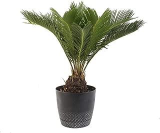 AMERICAN PLANT EXCHANGE King Sago Palm Tree Live Plant, 6