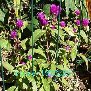 globe amaranth plants for sale
