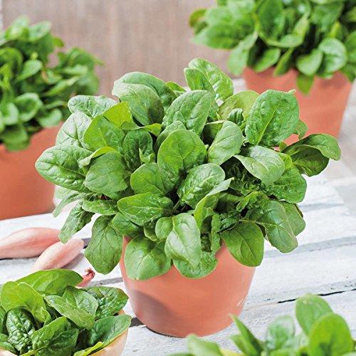 Kiepenkerl Spinat 'Lazio', F1 | ertragreich | fürs Hochbeet und den Kübel | 1 Packung Samen
