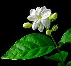 Hirt's Arabian Tea Jasmine Plant - Maid of Orleans - 6
