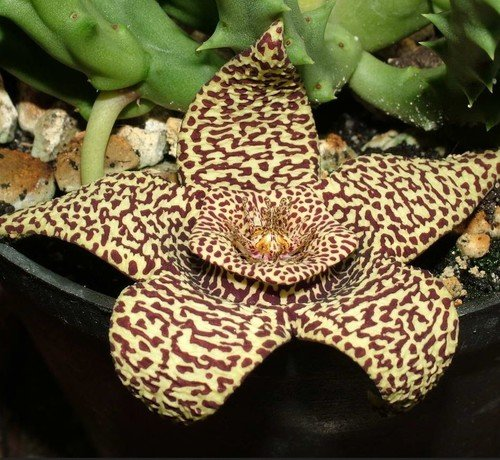 Plant World Seeds - Stapelia Variegata Seeds