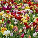 Bulbi da Fiore ALTA QUALITA' per fioritura PRIMAVERILE (50, Tulipani misti MIX)
