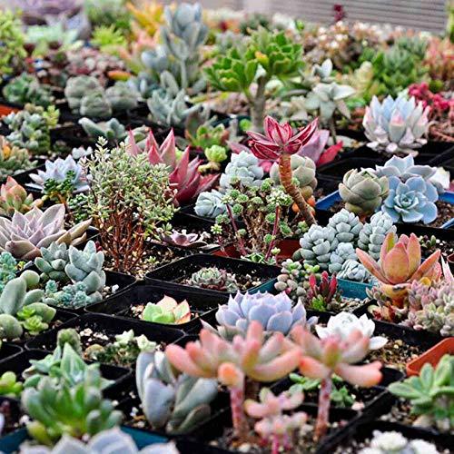 TOYHEART 600 Piezas De Semillas De Flores De Primera Calidad, Semillas De Suculentas, Forma Floral,...