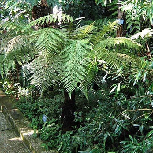 ScoutSeed Dicksonia Fibrosa - 50 Samen/Sporen - Neuseeland-Baumfarn