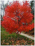 Autumn Blaze Red Maple Tree - Acer saccharinum - Heavy Established...
