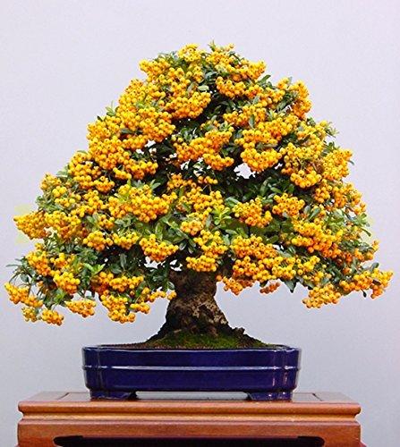 1bag = 100pcs graines japonaises TREE RED FLOWER exotiques graines Firethorn mini-pot baie cerise bonsaï maison & jardin livraison gratuite