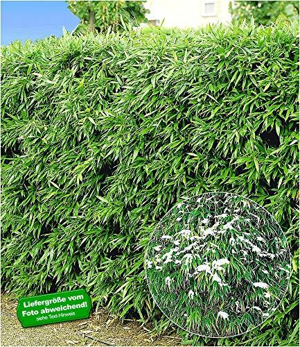 BALDUR Garten Winterharte Bambus-Hecke, 10 Pflanzen, Fargesia murielae Simba