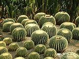 PLAT FIRM Germinación de Las Semillas: Cojãn de Madre en la Ley - ECHINOCACTUS Grusonii - 10 Semillas de Cactus/suculentas