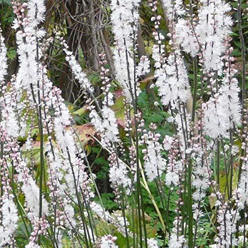 4 x Actaea Acerina (Cimicifuga) - Zilverkaars pot 9cm x 9cm