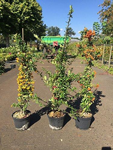 1 Meter laufende Hecke, 3 Stck. Feuerdorn Soleil dOr, Red Column, Orange Glow, je 40-60 cm, Heckenpflanzen weiß blühend, Pyracantha, im 2 Liter Topf