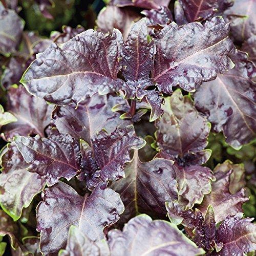 Basilic Pourpre Volants - Ocimum basilicum - 1000 Graines
