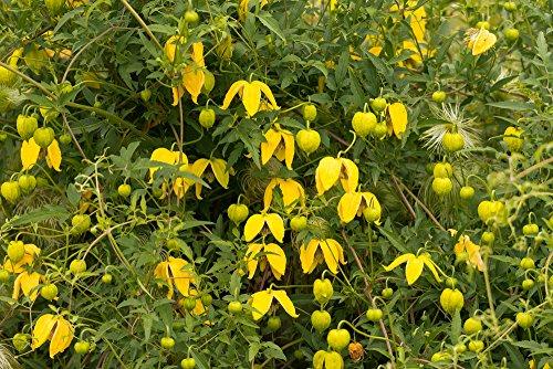 Clematis serratifolia 10 Samen -Waldrebe,Kletterpflanze, winterhart,duft