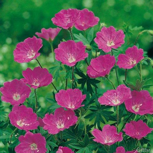 Blutroter Storchschnabel (Geranium sanguineum) - 1 Pflanze