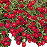 Zinnia - Profusion Double Hot Cherry - Fully Doubled Flowers - AAS Winner - Flower Seeds - 250 Seeds