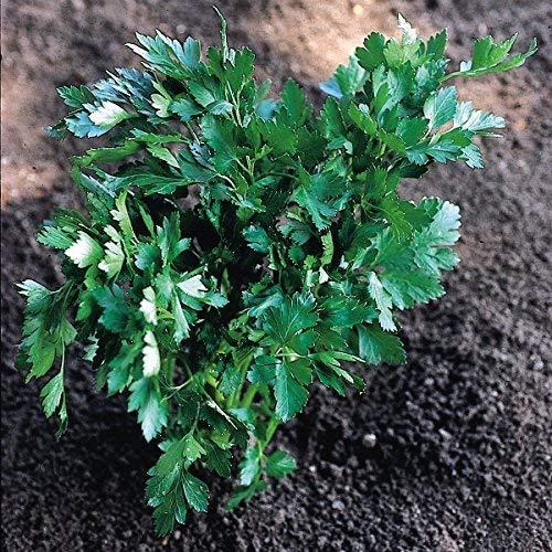 Suffolk herbes - persil italien biologique géant - 300 graines