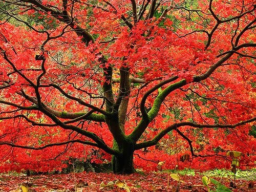 Amazon.com : Red Japanese Maple Tree - Live Plant Shipped 1 Foot Tall by DAS Farms (No California) : Maple Trees : Garden & Outdoor
