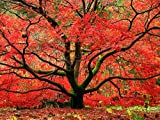 Red Japanese Maple Tree - Live Plant Shipped 1 Foot Tall by DAS Farms (No California)