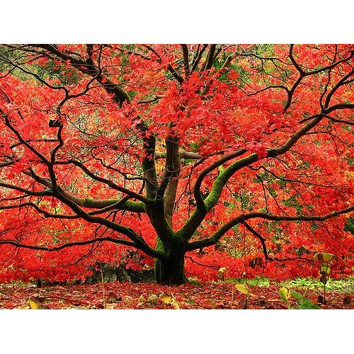 Amazon Com Red Japanese Maple Tree Live Plant Shipped 1 Foot