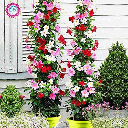 100pcs/bag Mandevilla sanderi -Dipladenia sanderi Samen, Bonsais-Blumen-Anlage für Hausgarten-Pflanzen, leicht 4 wachsen