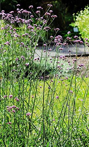 ScoutSeed Verbena bonariensis mehrjährige Pflanze 7cm Topf KOSTENLOSE LIEFERUNG ab € 20