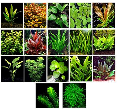50 plantas de acuario vivas / 17 tipos diferentes - Espadas amazónicas, Anubias, Helecho Java, Musgo Java, Ludwigia y mucho más. Gran muestra de plantas para tanques de 40 a 45 galones.