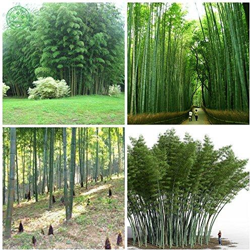 D'énormes 100 graines pubescens géant Phyllostachys Moso graines de bambou rustiques -Giant bonsaïs f85