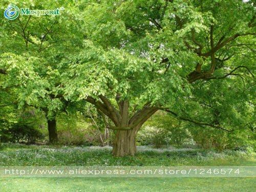 Baumsamen 50PCS / bag Koreanische Hainbuche Samen Mini Bonsai-Baum Samen für Hausgarten sehr schön sprießen 95%