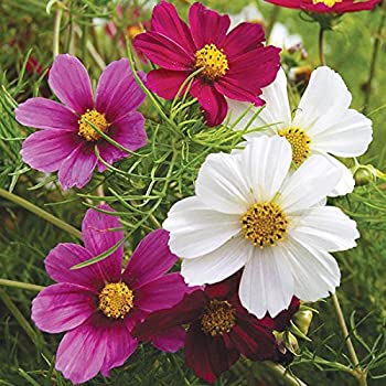 M Tech Gardens Rare Cosmos Flower Versailles Mixed Ornamental Flower Seeds 30 Seeds For Growing Amazon In Garden Outdoors