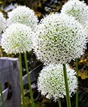 """3""""White Giant"""" Allium Bulbs for Planting. 4 Feet Tall Flowers with Giant White Bloom. Amazing, Must See"""