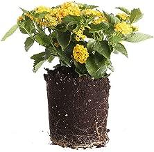 Plants by Post Gallon Lantana Lucky Plant, Yellow