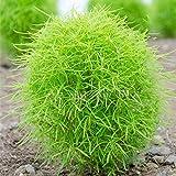 Ginestra sementi di ortaggi ginestra sementi di piantine di ortaggi Kochia scoparia e gambo vegetale di grano 300 grani