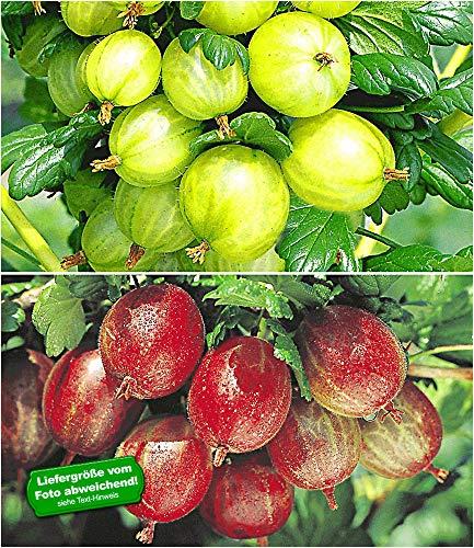 BALDUR Garten Stachelbeer-Sträucher-Set, 2 Pflanzen Ribes 'Gelbe Invicta®' und 'Rote Spinefree®'
