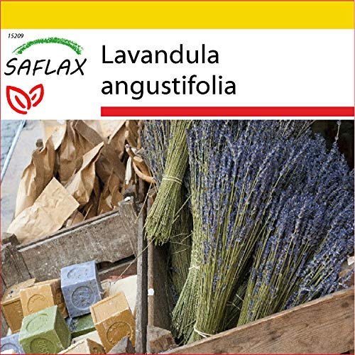 SAFLAX - Kit de culture - Lavande vraie - 150 graines - Lavandula angustifolia