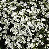 Arenaria Montana 'Avalanche' / Mountain Daisy or Mountain Sandwort/Hardy Evergreen/Seeds