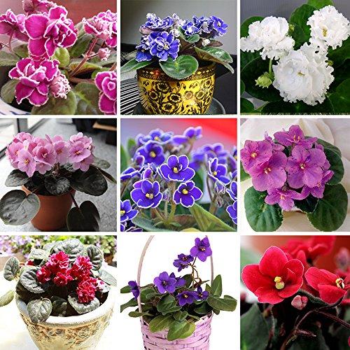 100 PCS 24 colores violeta Semillas, semillas violetas africanas, Jardín Plantas en maceta Violeta flores perennes hierba matthiola Incana mezcla de semillas