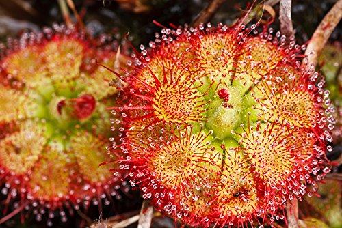 Drosera Sessilifolia 10 Samen,Fleischfressende Pflanze, Sonnentau