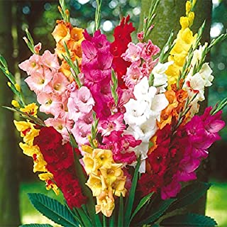 Bright Mix Gladiolus Corms (25 Bulbs) Now Shipping !