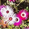 Tappeti Magici Semi Mixed - Mesembryanthemum criniflorum #4