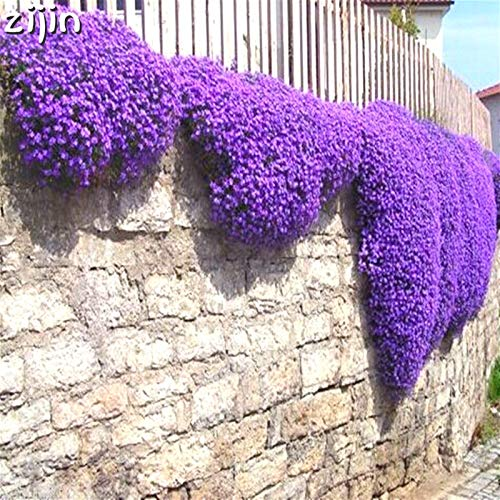 Delighted 100pcs Creeping Thyme bonsai Flower flores ROCK CRESS GROUND COVER plantas Carpet Evergreen Plant Easy to Grow for Garden