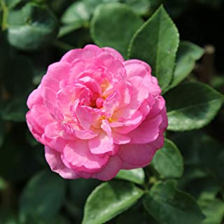 Own-Root One Gallon Jasmina Climbing Rose by Heirloom Roses