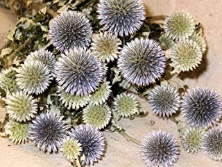 CCC Dried Echinops Bunch (Globe Thistle) 3-4 oz Bundle 6 Stems Green to Blue - Single Bunch