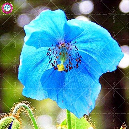 100pcs rouge de fleur de pavot graines Bonsai. Rare Papaver ORIENTALE graines en pot pour jardin maison décorée planting.semillas de flores 1
